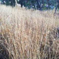 Phalaris aquatica (Phalaris) at Hughes Garran Woodland - 27 Feb 2017 by ruthkerruish