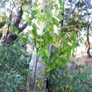 Prunus sp. at Garran, ACT - 15 Apr 2017