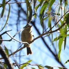 Melithreptus brevirostris (Brown-headed Honeyeater) at Mount Majura - 14 Apr 2017 by Qwerty
