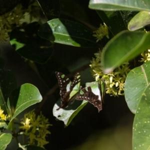 Graphium macleayanum at ANBG - 16 Apr 2017