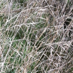 Bromus diandrus at Hughes Garran Woodland - 18 Nov 2014