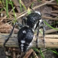 Bothriomutilla rugicollis at Wandiyali-Environa Conservation Area - 23 Apr 2017
