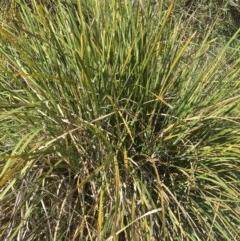 Lomandra longifolia (Spiny-headed Mat-rush, Honey Reed) at Yass, NSW - 23 Apr 2017 by Floramaya
