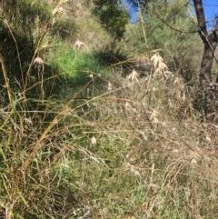 Themeda triandra (Kangaroo Grass) at Yass, NSW - 23 Apr 2017 by Floramaya