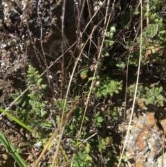 Cheilanthes distans (Bristly cloak fern) at Yass, NSW - 23 Apr 2017 by Floramaya