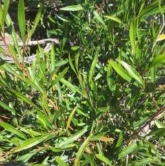 Dodonaea viscosa (Hop Bush) at Yass, NSW - 23 Apr 2017 by Floramaya