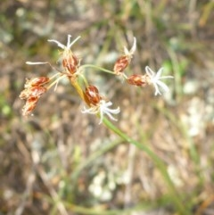 Fimbristylis dichotoma (A Sedge) at Tuggeranong Hill - 22 Apr 2017 by JanetRussell