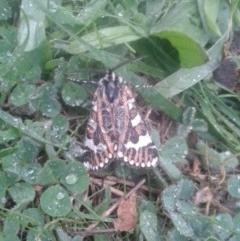 Apina callisto (Pasture Day Moth) at Hackett, ACT - 25 Apr 2017 by samreid007