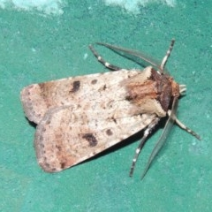 Agrotis porphyricollis (Variable Cutworm) at Conder, ACT - 9 Mar 2015 by michaelb