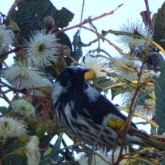 Phylidonyris niger X novaehollandiae (Hybrid) (White-cheeked X New Holland Honeyeater (Hybrid)) at Jerrabomberra Wetlands - 22 Apr 2017 by roymcd