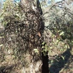 Muellerina eucalyptoides (Creeping Mistletoe) at Mount Mugga Mugga - 28 Apr 2017 by Mike