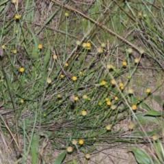 Calotis lappulacea (Yellow burr daisy) at Molonglo River Park - 24 Apr 2017 by michaelb