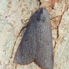 Paralaea porphyrinaria (Chestnut-veined Crest-moth) at Conder, ACT - 10 May 2016 by michaelb