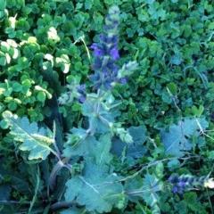 Salvia verbenaca var. verbenaca (Wild Sage) at Hughes Garran Woodland - 3 Apr 2017 by ruthkerruish
