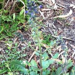 Salvia verbenaca var. verbenaca at Hughes Garran Woodland - 4 Apr 2017