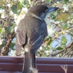 Cracticus torquatus (Grey Butcherbird) at Conder, ACT - 5 May 2017 by michaelb