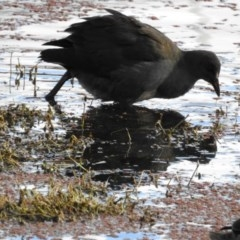 Gallinula tenebrosa (Dusky Moorhen) at Jerrabomberra Wetlands - 7 May 2017 by Qwerty
