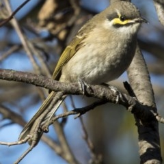 Caligavis chrysops (Yellow-faced Honeyeater) at Higgins, ACT - 7 May 2017 by Alison Milton