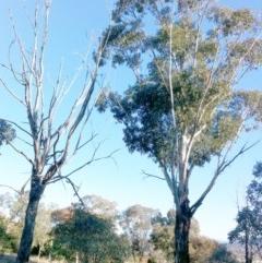 Eucalyptus globulus subsp. bicostata (Southern Blue Gum, Eurabbie) at Hughes Garran Woodland - 8 May 2017 by ruthkerruish