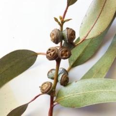 Eucalyptus globulus subsp. bicostata at Hughes Garran Woodland - 9 May 2017