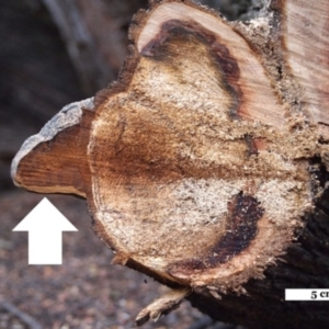 Phellinus sp. (non-resupinate) at ANBG - 11 May 2017
