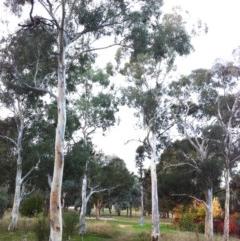Eucalyptus mannifera subsp. mannifera (Brittle Gum) at Hughes Garran Woodland - 10 May 2017 by ruthkerruish