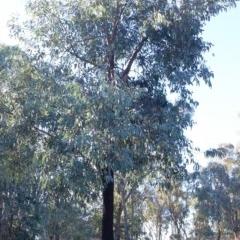Eucalyptus sideroxylon (Mugga Ironbark) at Hughes Garran Woodland - 31 Dec 1979 by ruthkerruish