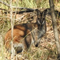 Macropus rufogriseus (Red-necked Wallaby) at Hackett, ACT - 12 May 2017 by Qwerty