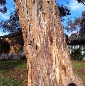 Eucalyptus melliodora at Hughes Garran Woodland - 12 May 2017