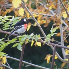 Petroica boodang (Scarlet Robin) at Deakin, ACT - 13 May 2017 by Ryl