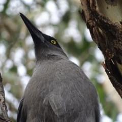 Strepera versicolor (Grey Currawong) at Majura, ACT - 2 May 2017 by roymcd