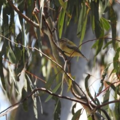 Smicrornis brevirostris (Weebill) at Hackett, ACT - 14 May 2017 by Qwerty