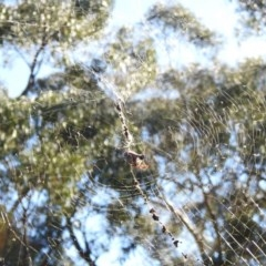 Nephila edulis (Golden orb weaver) at Hackett, ACT - 14 May 2017 by Qwerty