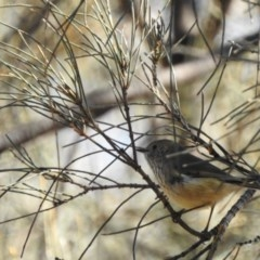 Acanthiza pusilla (Brown Thornbill) at Hackett, ACT - 15 May 2017 by Qwerty