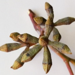 Eucalyptus nortonii at Hughes Garran Woodland - 5 Nov 2019