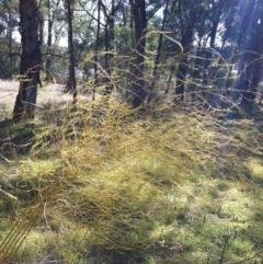 Asparagus officinalis (Asparagus) at Hughes Garran Woodland - 11 May 2017 by ruthkerruish