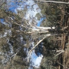 Eucalyptus melliodora (Yellow Box) at Mount Ainslie - 20 May 2017 by rainer