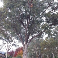 Eucalyptus bridgesiana (Apple Box) at Hughes Garran Woodland - 11 Apr 2017 by ruthkerruish