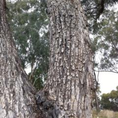 Eucalyptus bridgesiana at Hughes Garran Woodland - 12 Apr 2017