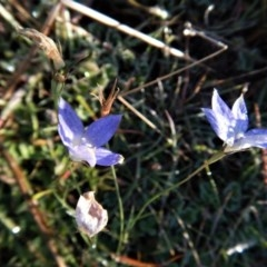 Wahlenbergia stricta subsp. stricta (Tall Bluebell) at Belconnen, ACT - 21 May 2017 by CathB