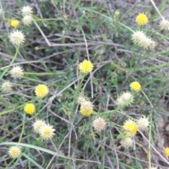 Calotis lappulacea (Yellow burr daisy) at Molonglo River Park - 21 May 2017 by michaelb