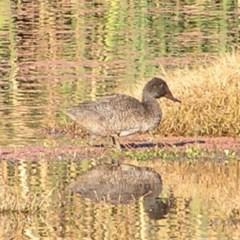 Stictonetta naevosa (Freckled Duck) at Jerrabomberra Wetlands - 21 May 2017 by MatthewFrawley