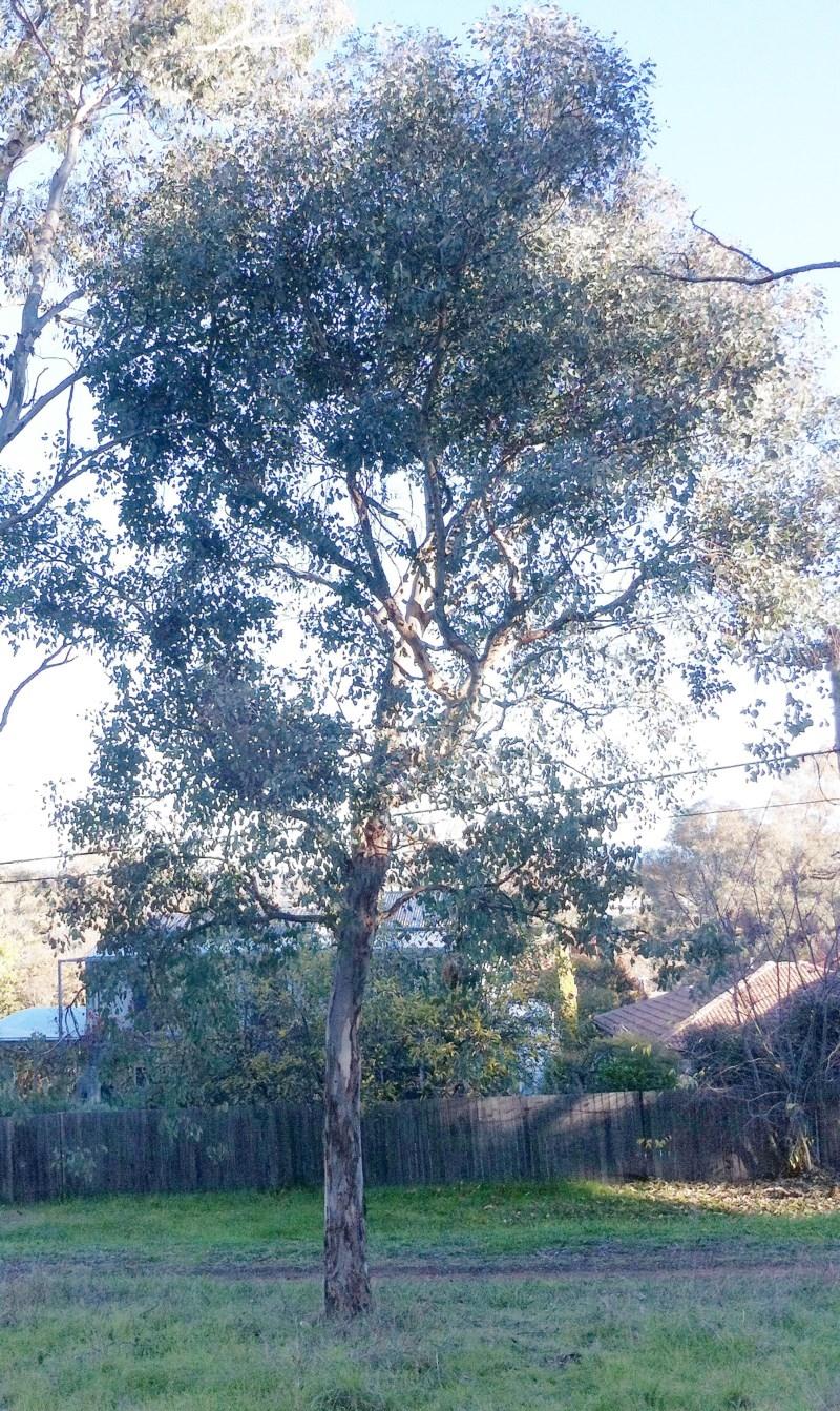 Eucalyptus blakelyi at Hughes Garran Woodland - 23 May 2017