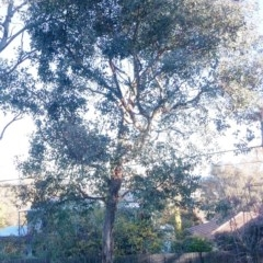 Eucalyptus blakelyi (Blakely's Red Gum) at Hughes Garran Woodland - 22 May 2017 by ruthkerruish