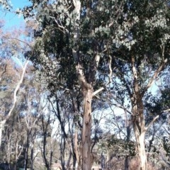 Eucalyptus polyanthemos (Red Box) at Garran, ACT - 22 May 2017 by ruthkerruish