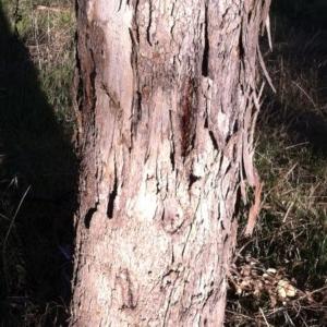 Eucalyptus polyanthemos at Hughes Garran Woodland - 23 May 2017