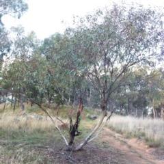 Eucalyptus leucoxylon (Yellow Gum) at Hughes Garran Woodland - 23 May 2017 by ruthkerruish