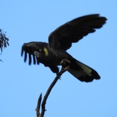 Calyptorhynchus funereus (Yellow-tailed Black-Cockatoo) at Hackett, ACT - 19 May 2017 by Qwerty