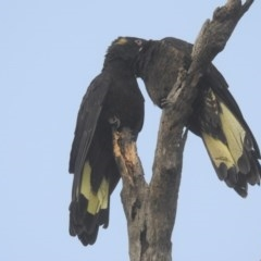 Calyptorhynchus funereus (Yellow-tailed Black-Cockatoo) at Watson, ACT - 20 May 2017 by Qwerty