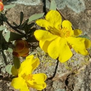 Hibbertia obtusifolia at Wanniassa Hill - 26 May 2017
